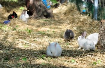 Conejos en Ostara