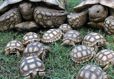 tortuga-terrestre-2